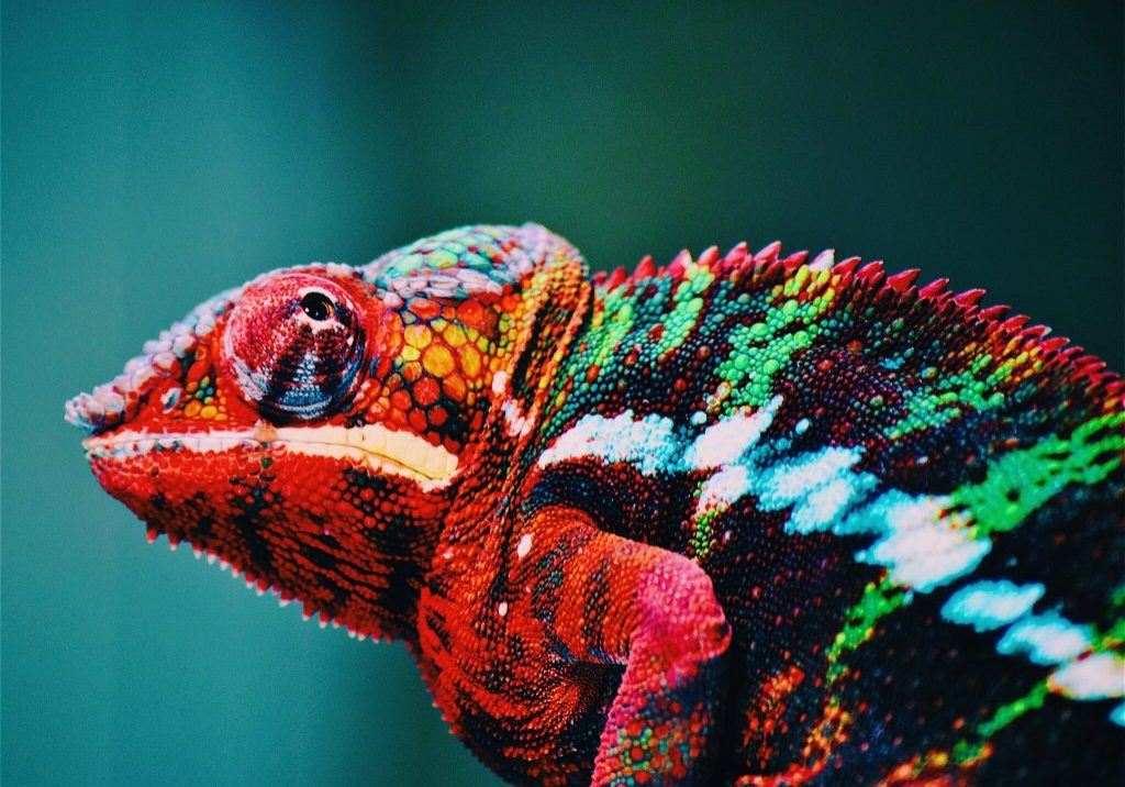 animal-blur-chameleon-567540